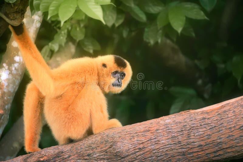 Femelle jaune-cheeked de gibbon, gabriellae de Nomascus images stock
