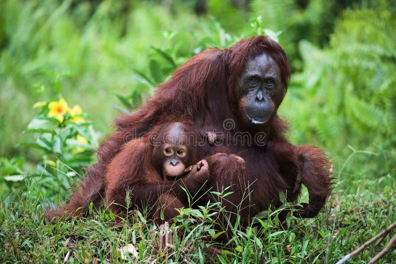 Femelle l'orang-outan avec le gosse sur une herbe. images libres de droits