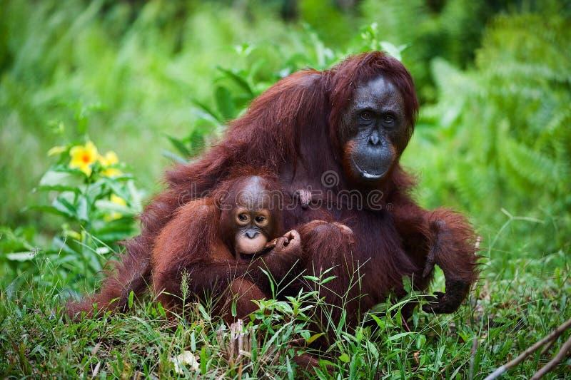 Femelle l'orang-outan avec le gosse sur une herbe. photo libre de droits