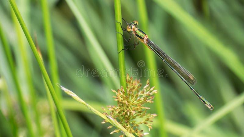 Femelle réunie de damselfly de demoiselle sur une tige d'herbe Splendens de Calopteryx photo stock
