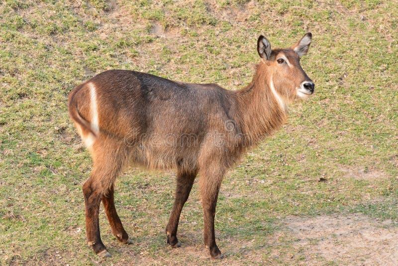 Femelle waterbuck commun de Waterbuck ou d'Ellipsen (ellipsiprymnus de Kobus) images libres de droits