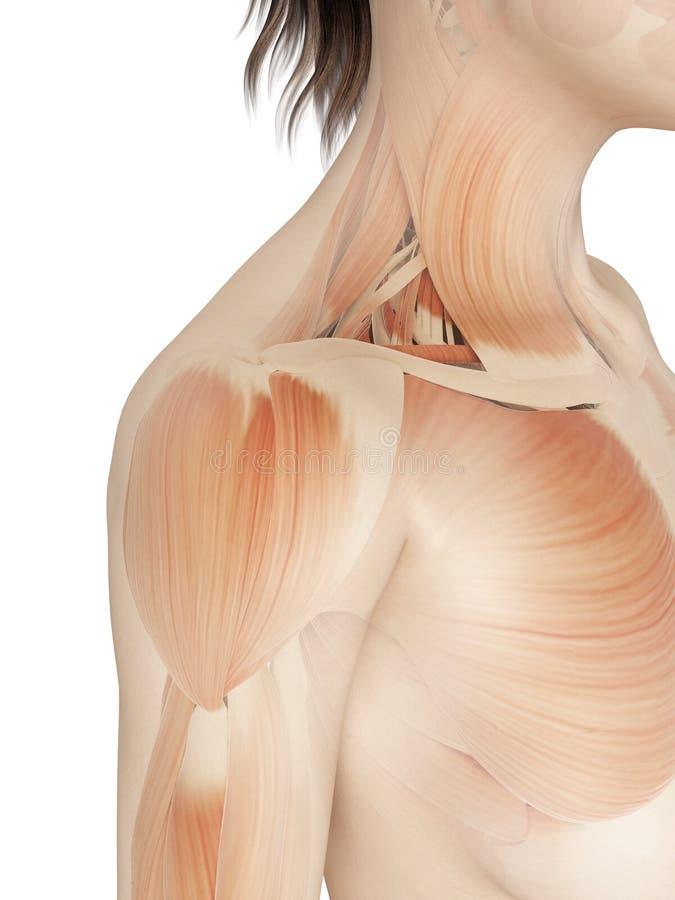 Femenino - músculos del hombro libre illustration