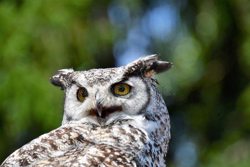A closeup of Great Horn Owl. royalty free stock photo