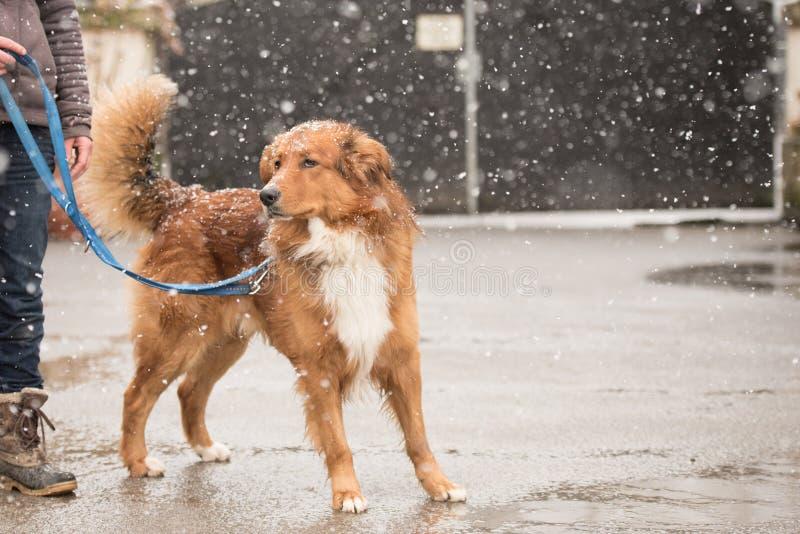 Femme avec la promenade de chien en hiver sur la route images libres de droits