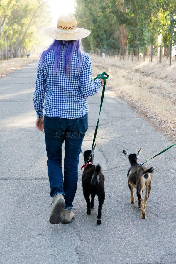 Femme avec les chèvres de marche de cheveux pourpres sur la route de campagne images libres de droits