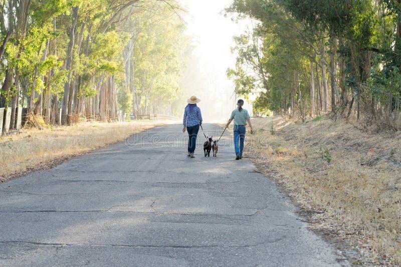 Femme avec les chèvres de marche pourpres de cheveux et d'homme sur la route de campagne photo stock