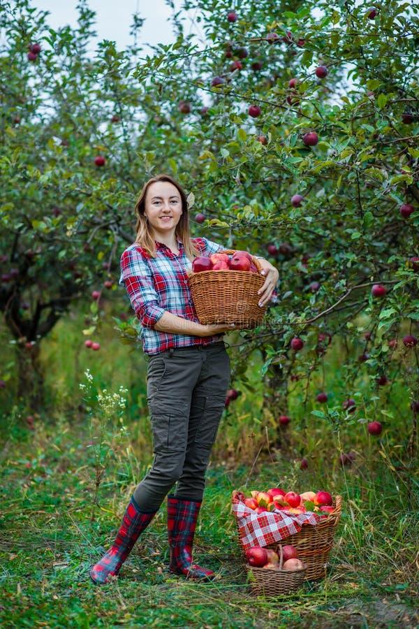 Femme avec un panier complètement des pommes rouges dans le jardin images stock
