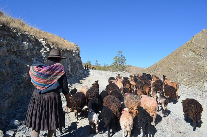 Femme bolivienne avec des chèvres dans les montagnes photographie stock libre de droits