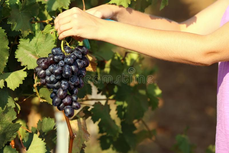 Femme coupant le groupe de raisins juteux mûrs frais avec le pruner images stock