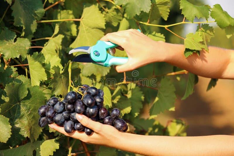 Femme coupant le groupe de raisins juteux mûrs frais avec le pruner image libre de droits