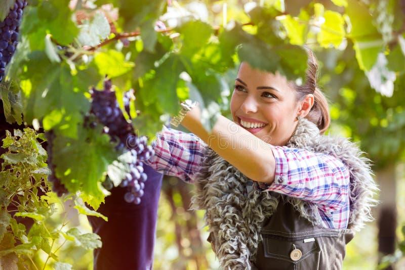 Femme coupant un groupe de raisins photo libre de droits