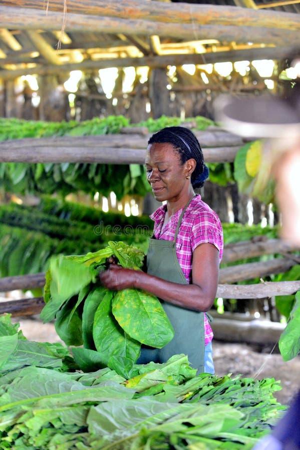 Femme cubaine travaillant dans une usine de cigares photos stock