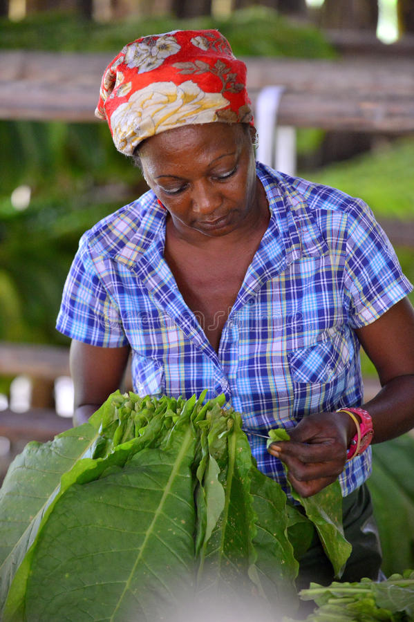 Femme cubaine travaillant dans une usine de cigares photo libre de droits