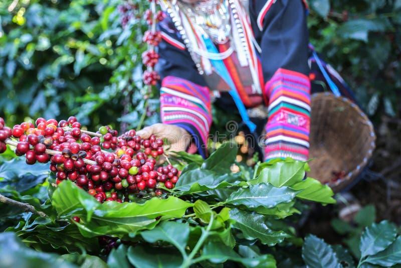 Femme d'Akha sélectionnant les grains de café rouges sur le bouquet images libres de droits
