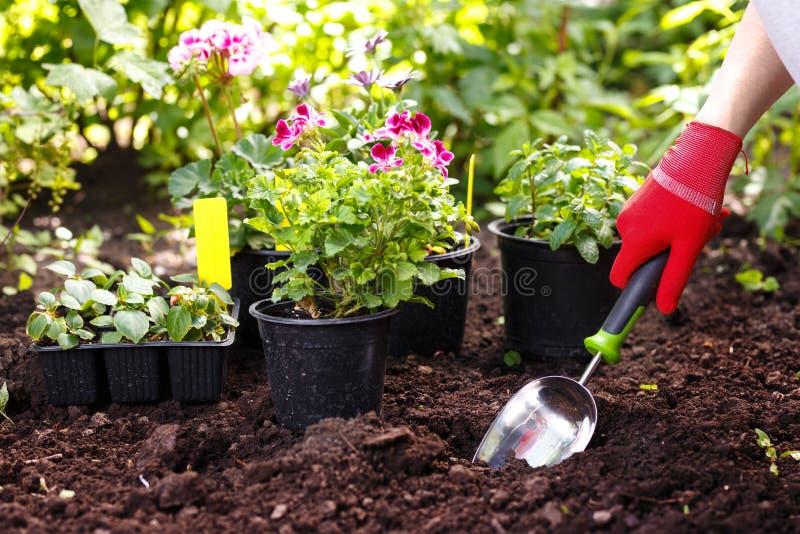 Femme de jardinier plantant des fleurs dans le jardin d'été au matin image stock