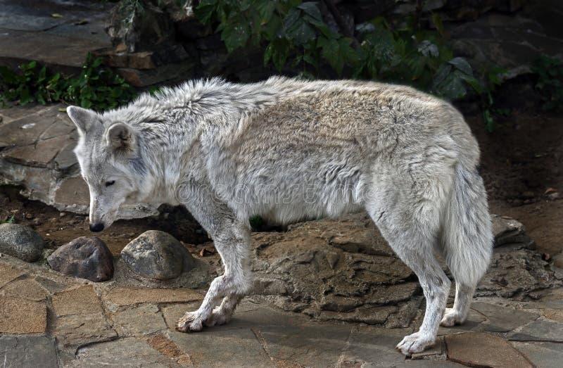 Femme de loup arctique 4 images libres de droits