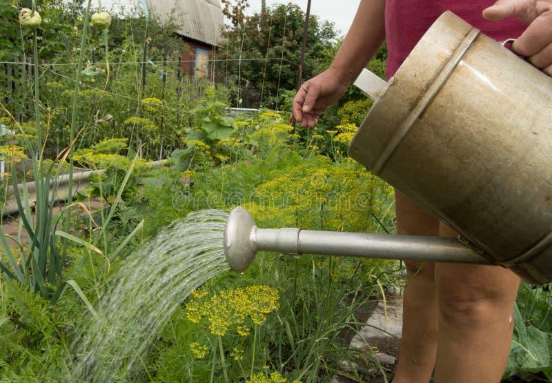 Femme en bref et usines végétales de arrosage de T-shirt dans votre jardin d'une vieille boîte d'arrosage image libre de droits