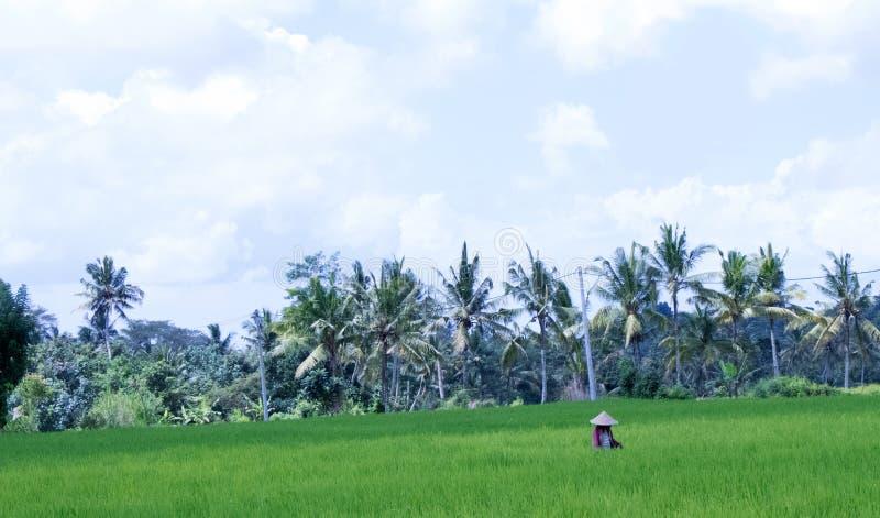 Femme en riz Paddy Field images stock