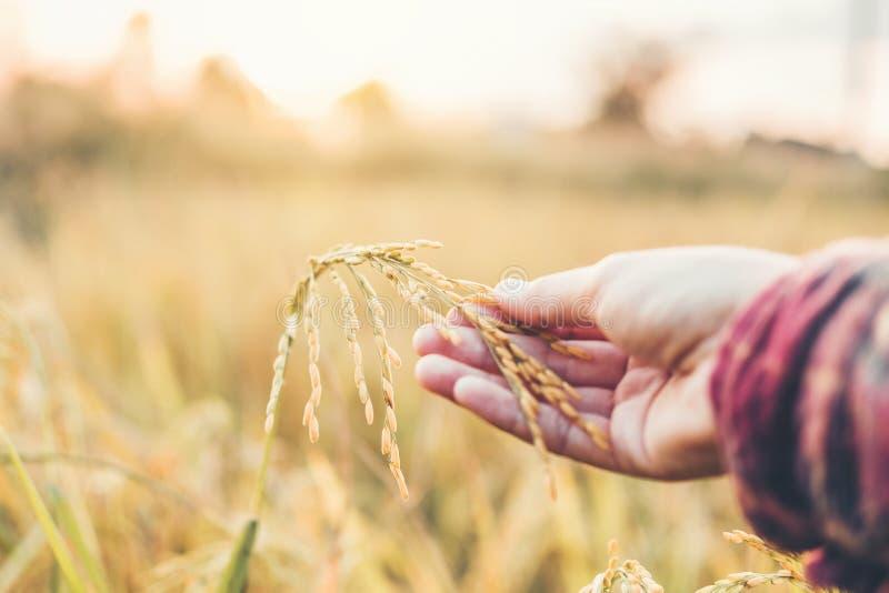 Femme fut?e de ferme et d'agriculture biologique ?tudiant le d?veloppement des vari?t?s de riz dans le domaine de riz photo stock