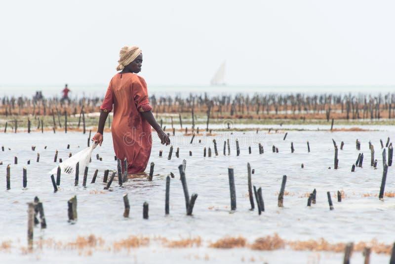 Femme locale moissonnant l'algue cultivée, Zanzibar images libres de droits