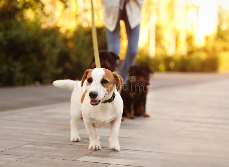 Femme marchant des chiens de griffon de Jack Russell Terrier et de Bruxelles photos libres de droits