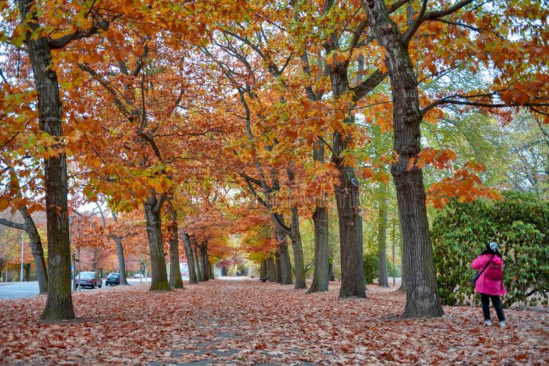 Femme marchant parmi les arbres rouges et jaunes color?s de feuillage dans le jardin pendant l'automne chez Wilhelm Kulz Park ? L images stock