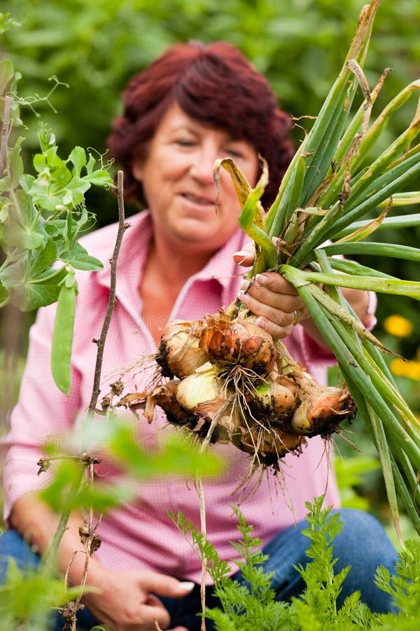 Femme moissonnant des oignons dans le jardin images stock