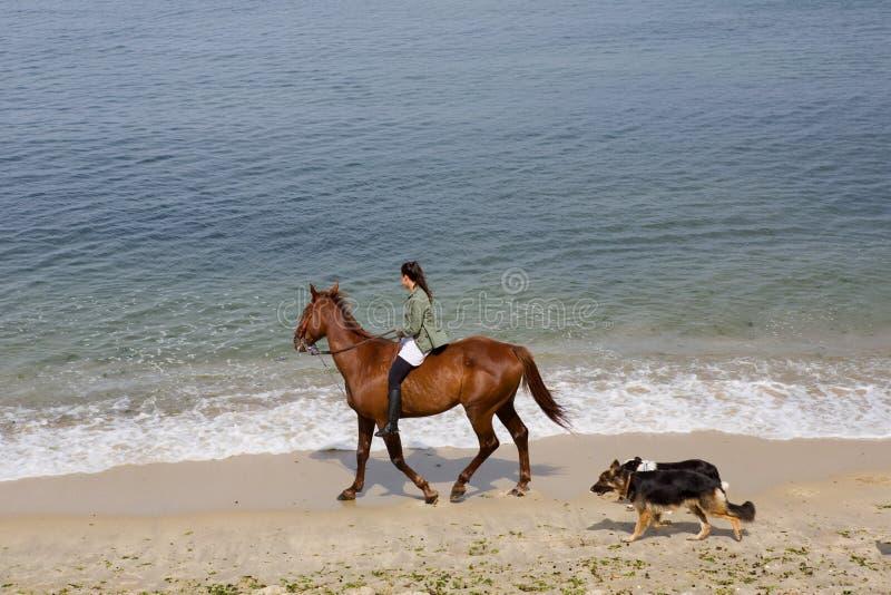 Femme montant un cheval avec ses chiens à la plage, à Baiona, la Galicie, photos stock