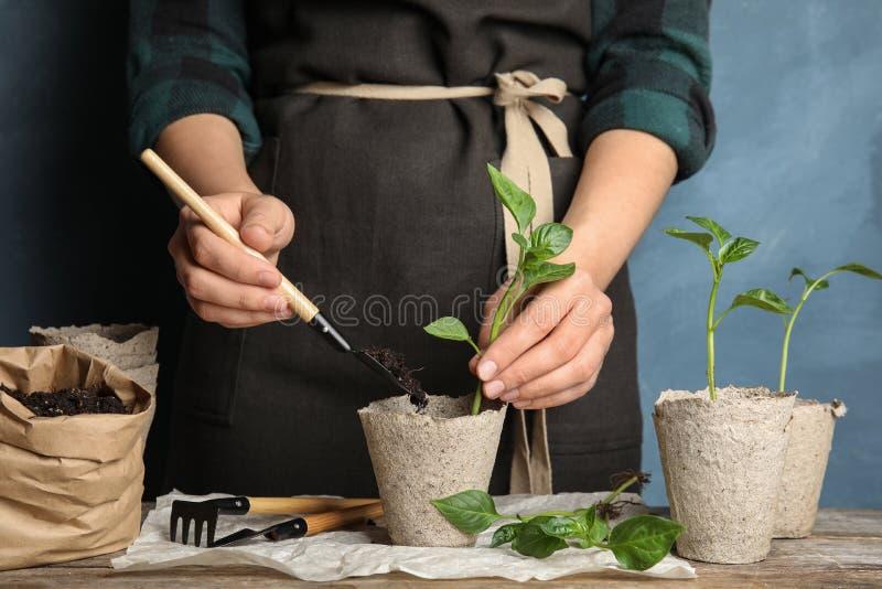 Femme plantant des jeunes plantes dans des pots de tourbe sur la table sur le fond de couleur photo libre de droits