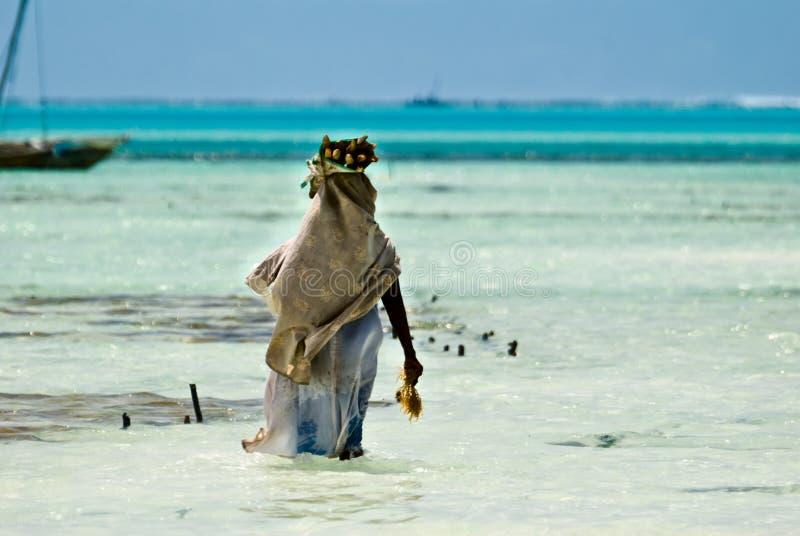 Femme rassemblant des algues photo libre de droits