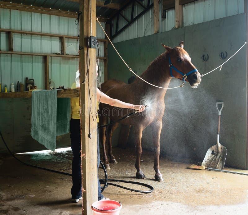 Femme refroidissant le cheval de châtaigne dans une grange photo libre de droits