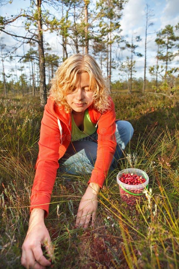 Femme sélectionnant les canneberges organiques sauvages photos libres de droits