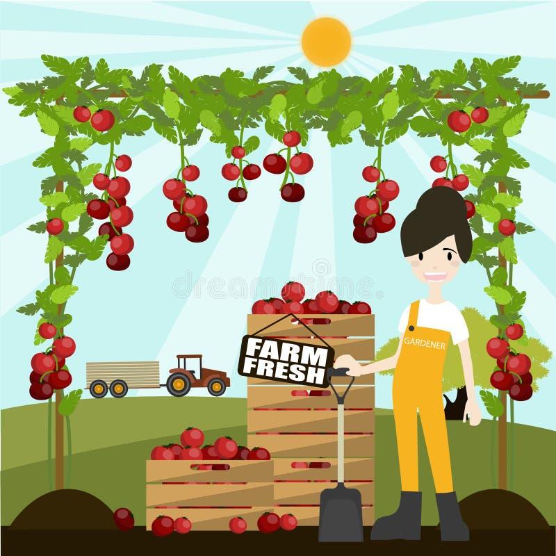 Download Femme Sélectionnant Les Tomates Fraîches Illustration de Vecteur - Illustration du nature, greenhouse: 76085054
