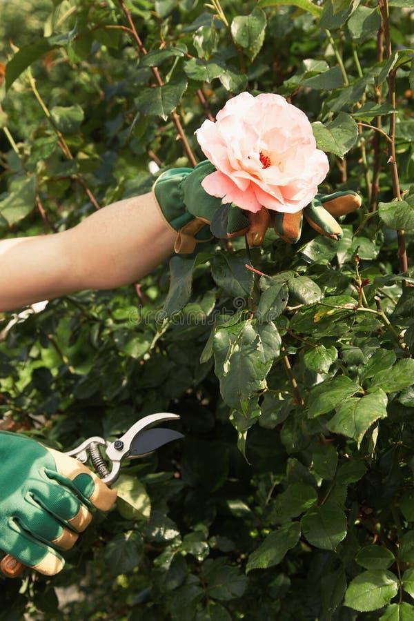 Femme sélectionnant une rose fraîche de rose sur le buisson photos stock