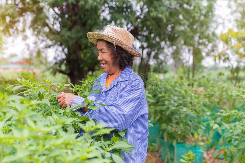 Femme supérieure d'agriculteur avec le piment de cueillette du potager photographie stock libre de droits