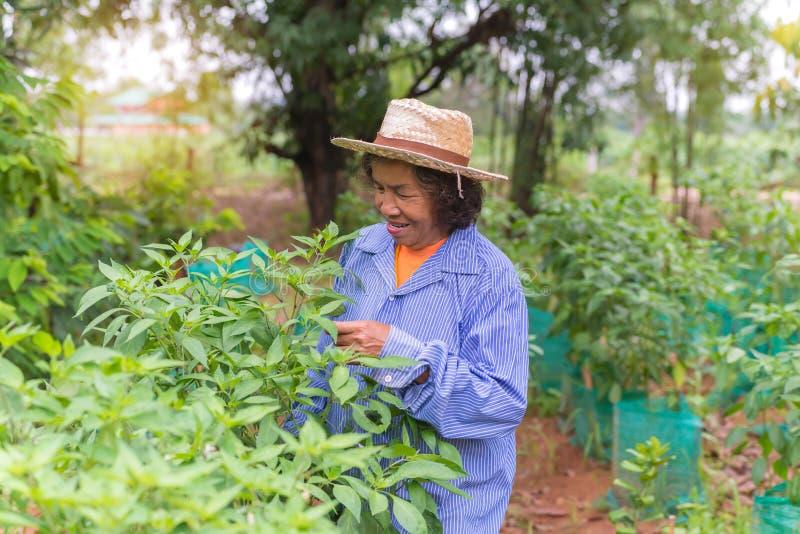 Femme supérieure d'agriculteur avec le piment de cueillette du potager photographie stock