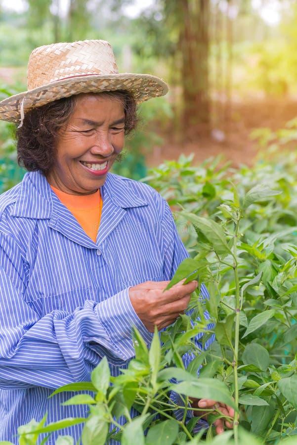 Femme supérieure d'agriculteur avec le piment de cueillette du potager photo libre de droits