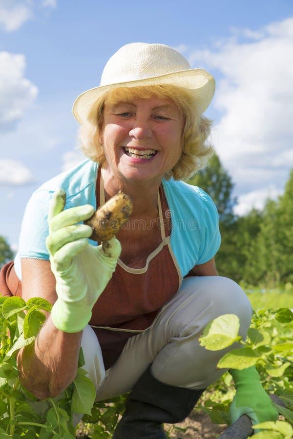 Femme supérieure heureuse moissonnant des pommes de terre dans le jardin photographie stock libre de droits