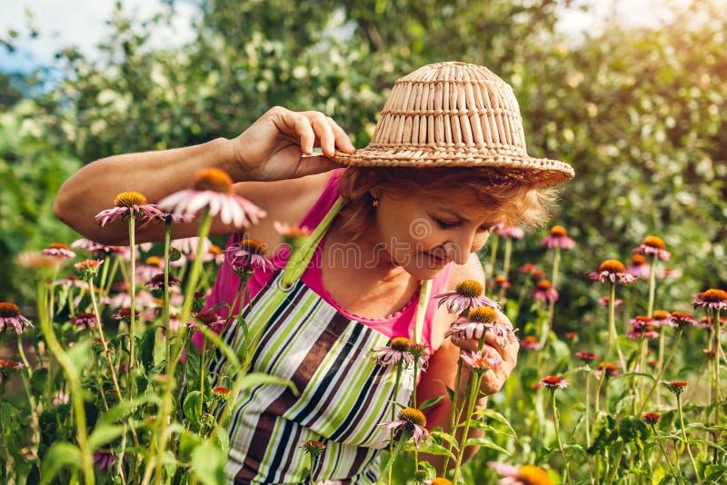 Femme sup?rieure recueillant des fleurs dans le jardin Echinacea sentant ou coneflower de femme d'une cinquantaine d'années Conce images stock