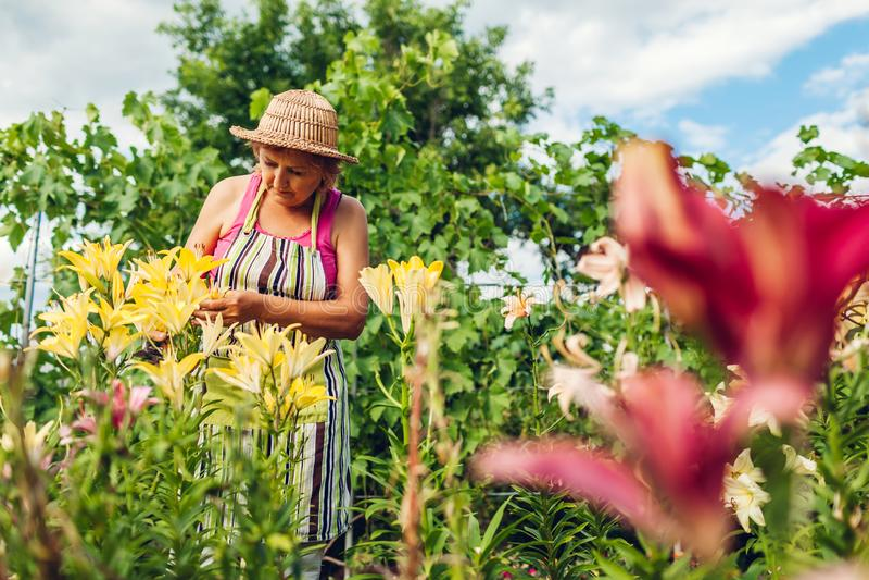 Femme sup?rieure recueillant des fleurs dans le jardin Jardinier d'une cinquantaine d'années coupant des lis avec le pruner Conce photo libre de droits