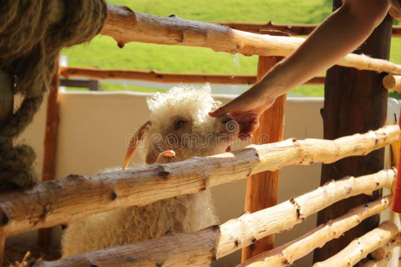femme tapotant un mouton angora mou, mignon, petit, blanc, floconneux photo libre de droits