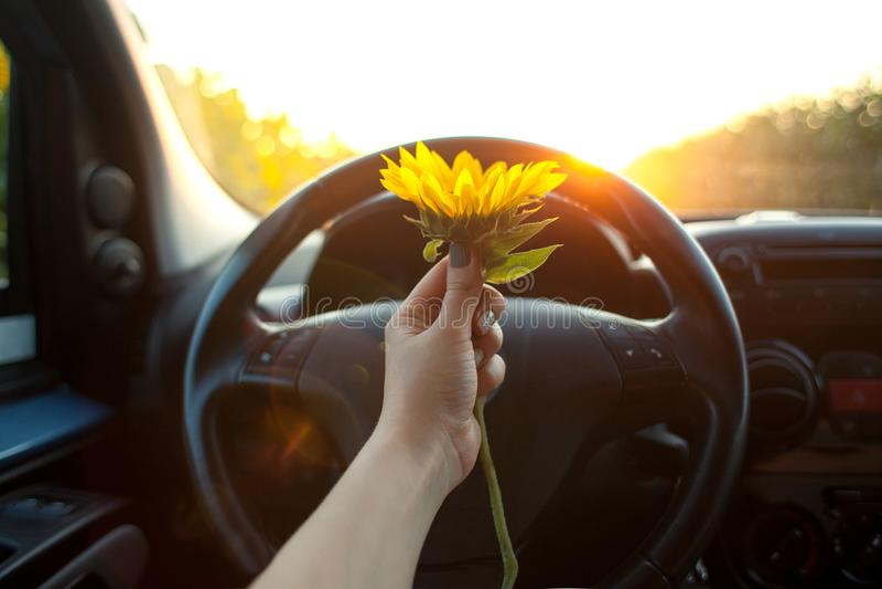 Femme tenant des fleurs de tournesol dans la voiture photos libres de droits