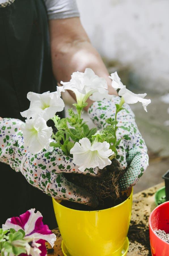 Femme tenant des jeunes plantes de fleur dans son jardin photographie stock