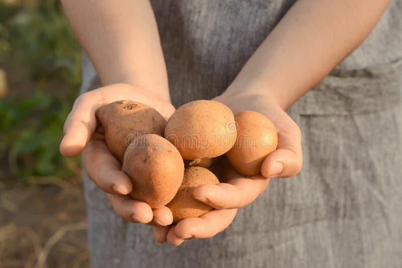 Femme tenant les pommes de terre crues dans le jardin, plan rapproché photo libre de droits