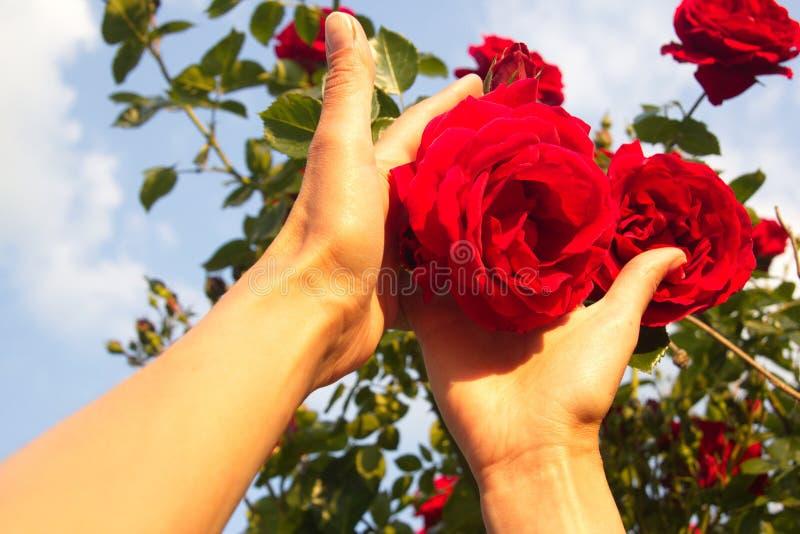 Femme tenant un plan rapproché rouge de fleur de rose photographie stock libre de droits