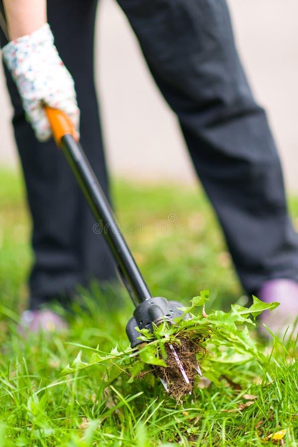 Femme tirant des mauvaises herbes images stock