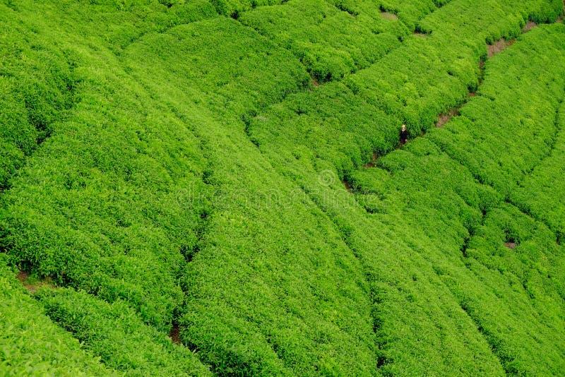 Femme/touriste marchant par le champ de plantation de thé au Rwanda, Af photographie stock
