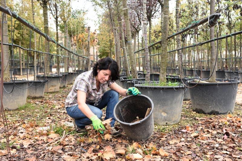 Femme travaillant à la jardinerie, prenant les feuilles sèches photos libres de droits
