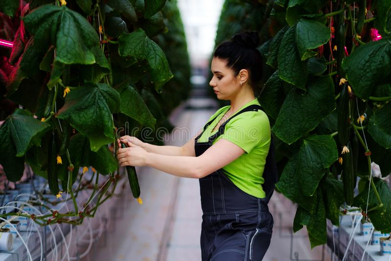 Femme travaillant en serre chaude images stock