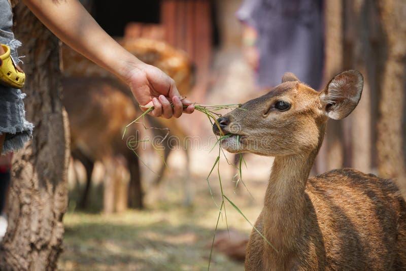 Femmes alimentant des cerfs communs dans les zoos photos libres de droits